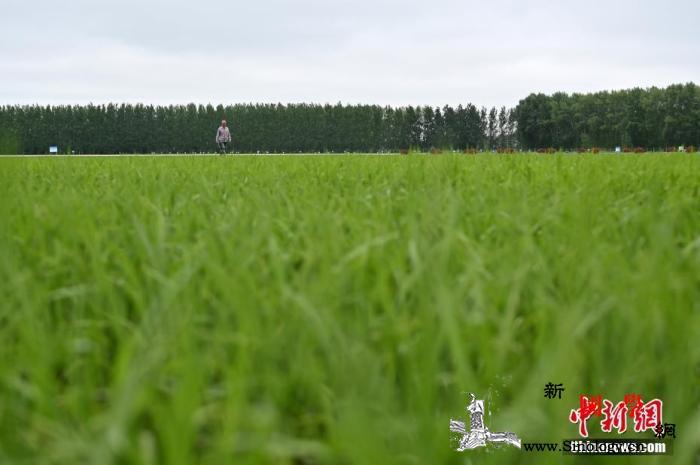 农业农村部:加强稻飞虱监测防控严防暴_水稻-防控-监测-