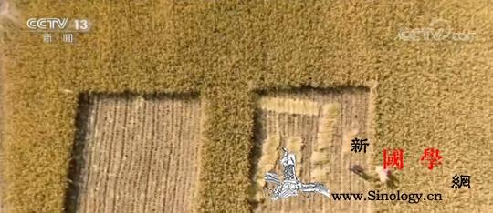 新疆喀什:海水稻再获丰收亩产超千斤_塔克拉玛干-喀什-岳普湖县-