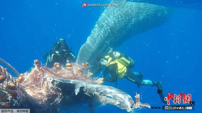 警惕!这类珍稀鲸鱼数量锐减如今仅剩3_北大西洋-渔网-鲸鱼-