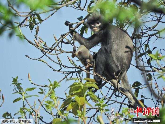 科学家发现猴子新品种!长着白眼圈、已_叶猴-缅甸-灭绝-