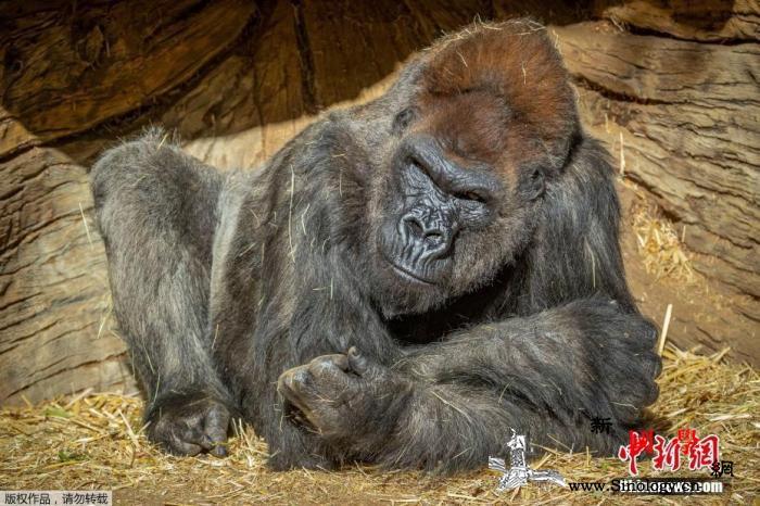 美国加州一动物园至少两只大猩猩感染新_农业部-美国-美联社-