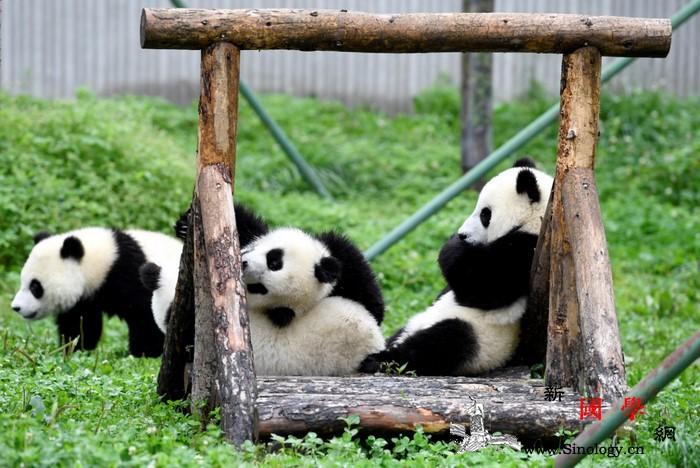 您与大熊猫就差一个指尖的距离_熊猫-邛崃-栖息-布鲁塞尔-