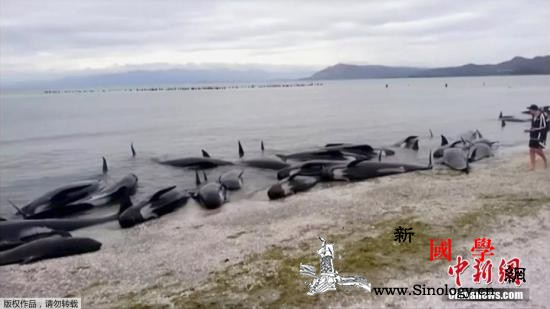 新西兰鲸鱼搁浅事件:28头鲸鱼被推回_推回-鲸鱼-搁浅-