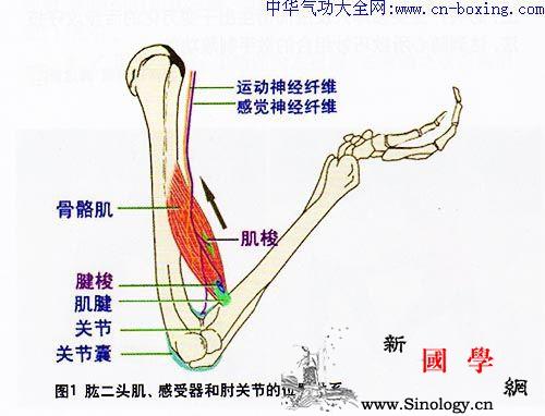 何为抻筋拔骨-周向前_牵拉-肘关节-肌腱-条件刺激-