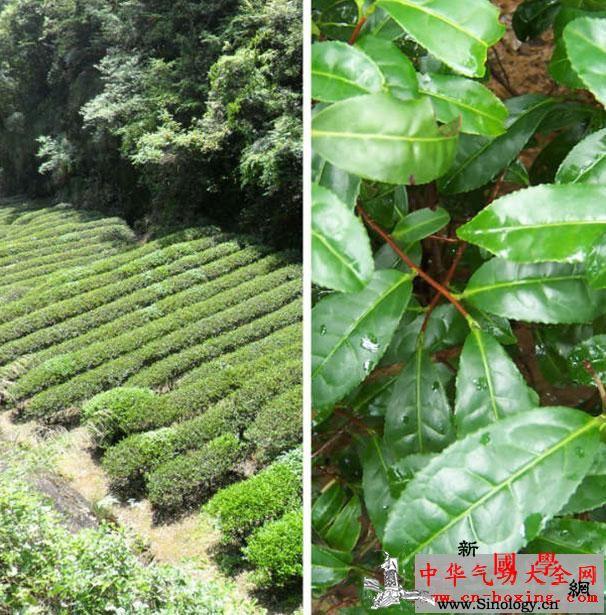 大红袍属于什么茶大红袍是哪种类型的茶_乌龙茶-喝茶-茶叶-武夷-