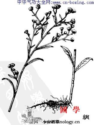 小飞蓬_腺毛-头状花序-基部-痢疾-