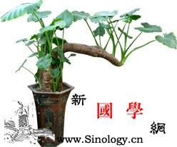 依五行栽植改变居家风水_栽植-椿树-绿宝石-居家-