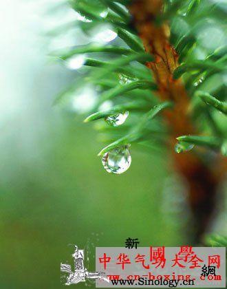 五精酒_生药-松叶-马尾松-松针- ()