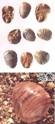 土鳖虫_土鳖虫-尿囊素-松土-药典-