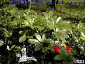 七叶莲_生药-鹅掌-叶柄-患处-