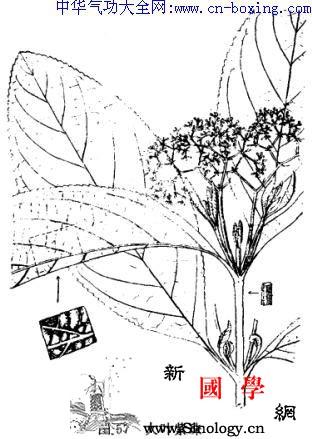 大叶紫珠_紫珠-茸毛-扦插-灰白色-