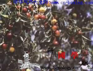 大枣_果皮-树皮-红枣-溶液-