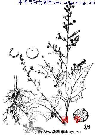 大叶藜_裂片-扁圆形-卵形-花被-