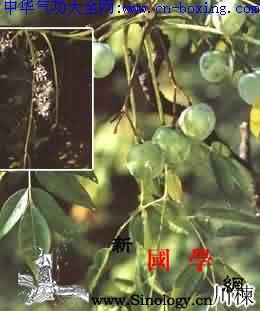川楝子_杀虫-川楝子-果核-果肉-