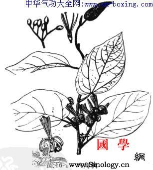 八角枫_侧根-滤液-房室-花序-