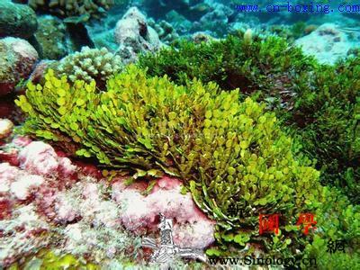 海藻的功效与作用_海藻-蒿子-散结-海草-