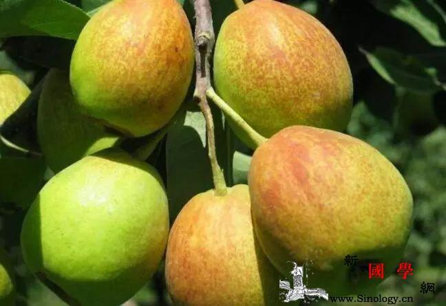 冬季多吃这2种水果身体好!孕妇能吃香梨吗?_甘蔗-清热-吃香-冬季-